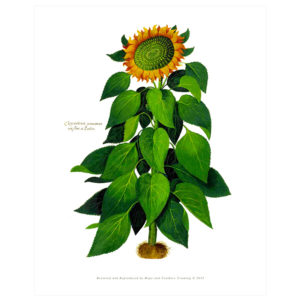 Sunflower - Vintage Botanical Print